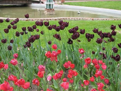 more-black-tulips