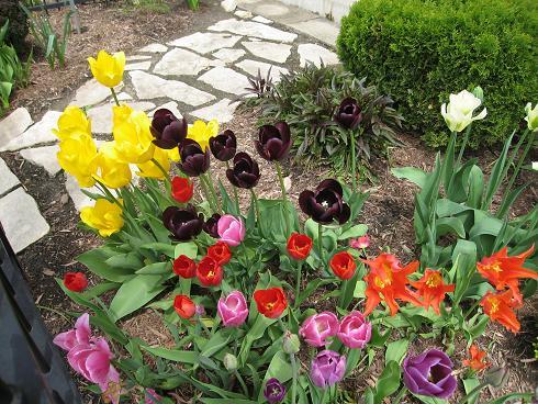tulip-time-with-black-tulip